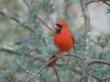 Cardinal on Evergreen