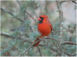 Cardinal on Evergreen